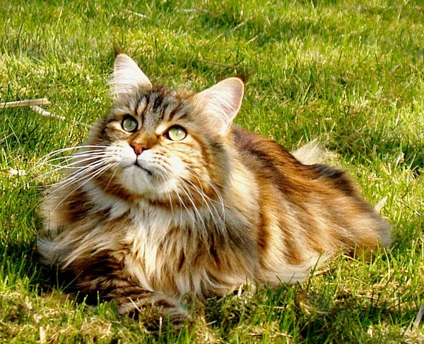 Maine Coon 3: