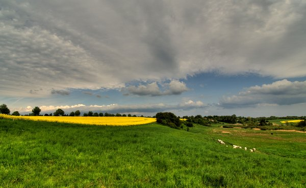 Rape field - HDR
