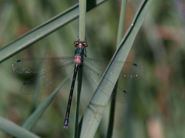 Dragon fly: Green Dragon fly