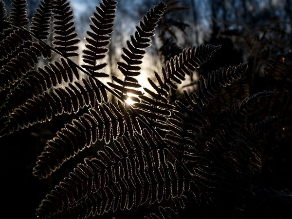 Fern in backlight