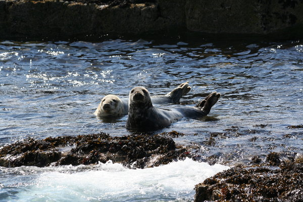 Atlantic Grey Seals 2