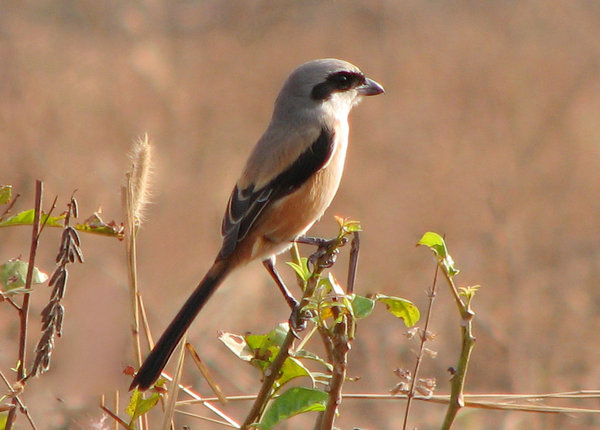 Long Tailed Shrike: no description