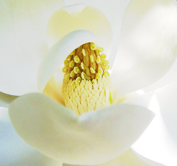 Magnolia centre: Magnolia grandiflora.  The middle of the flower.  The flower itself is the size of a dinner plate, and the bloom lasts a few days.  You can nearly see the petals unfold to reveal the core.