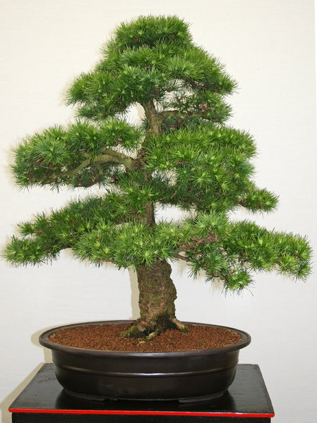 Bonsai conifer: A large bonsai conifer.