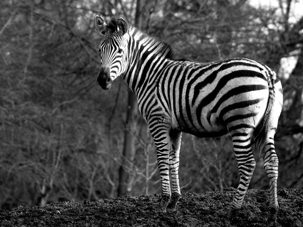 Zebra on a hill