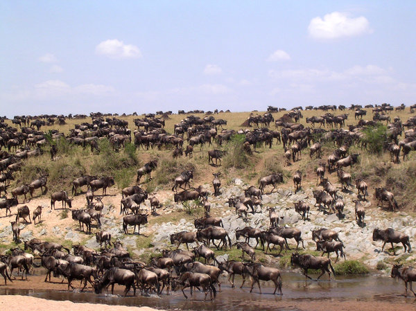 gnu: migration of gnu from tansania to kenya