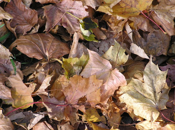Autumn leaves: Some colorful leaves.
