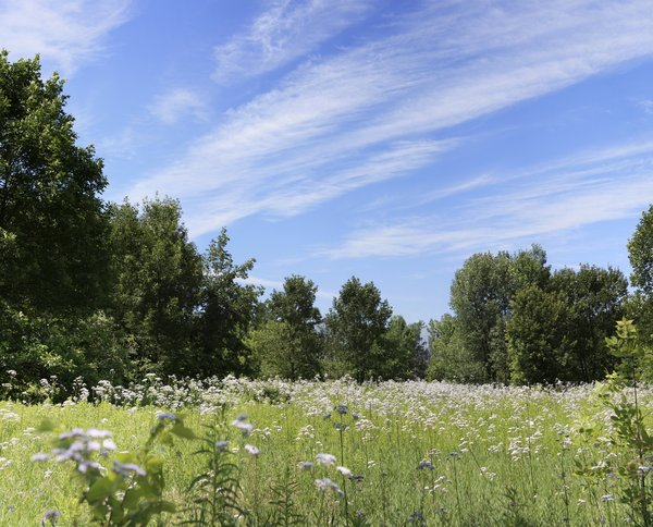 Meadow: Wildflowers in a field, surrounded by woods, on a bright summer day.
