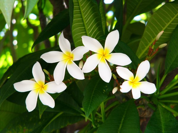 Frangipani / Plumeria Arc: Four frangipanis/plumerias in an arc pattern on the tree.