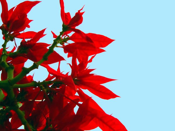 Poinsettia - Red: Red poinsettia against the sky. A favourite Christmas plant, it blooms mid-year where I live.