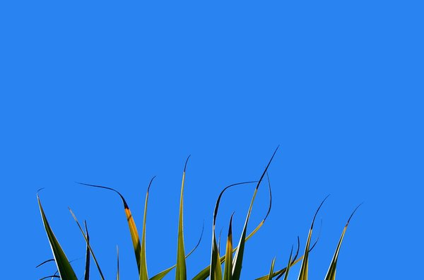 Green Against Blue: A border of green pandanus leaves against a blue sky. Lots of copyspace. Photo and graphic. Remember, no RGB image may be redistributed without permission. Please use according to the image license.