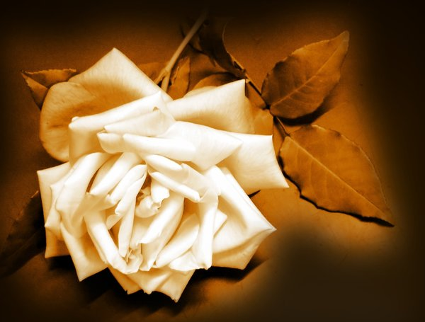 Sepia Rose: Rose edited in sepia colours. No redistribution of my images is allowed without my express permission.