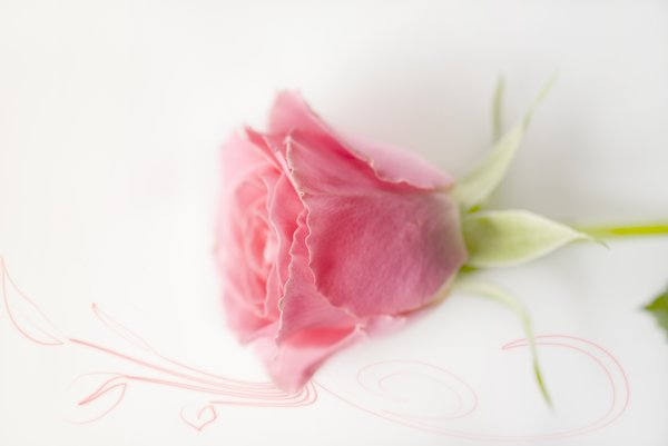 Pink rose: Pink isolated rose