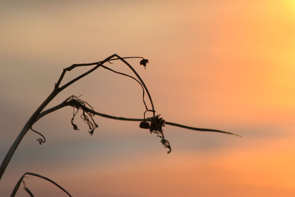 Dead Weed: A dead weed on Galveston Bay at sunrise