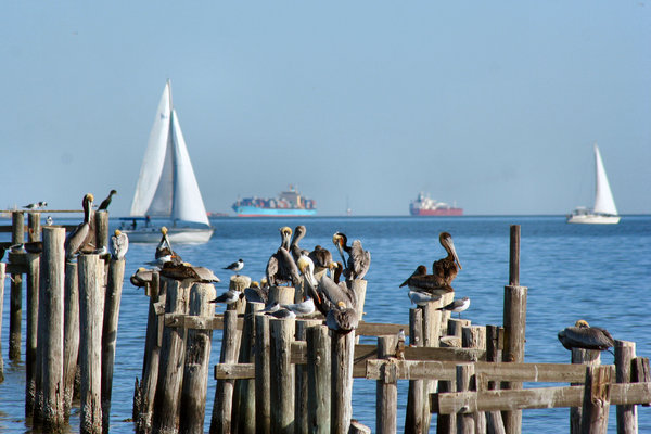 Sailboats: Sailing on Galveston Bay with Pelicans Watching
