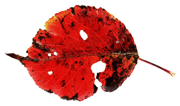Red Leaf: A red leaf with holes.Please visit my stockxpert gallery:http://www.stockxpert.com ..