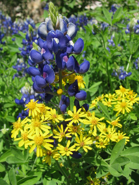 Texas Blue Bonnets 3