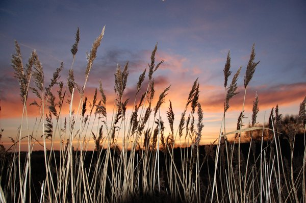 reedbed at sunset 1