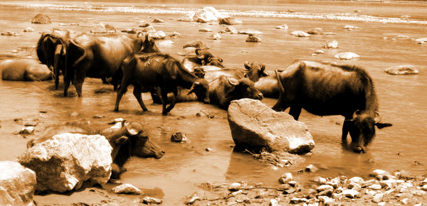 Buffalo 1: Buffalos cooling off in the Ganges.