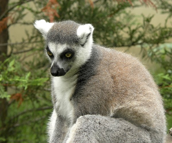 Thinking lemur
