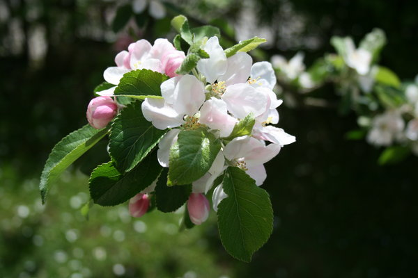 Spring flowers: Blossoming apple tree