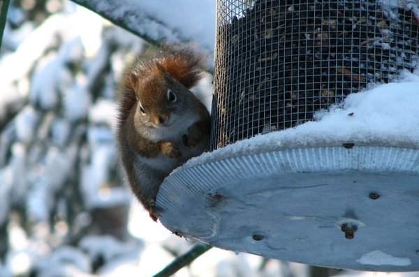 A little squirrel: I caught this little guy eating out of a bird feeder,by the size of him  it looks like he has been doing that very often