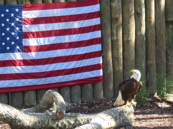 Eagle in front of USA flag: Caugth thisEagle in front of the USA flag