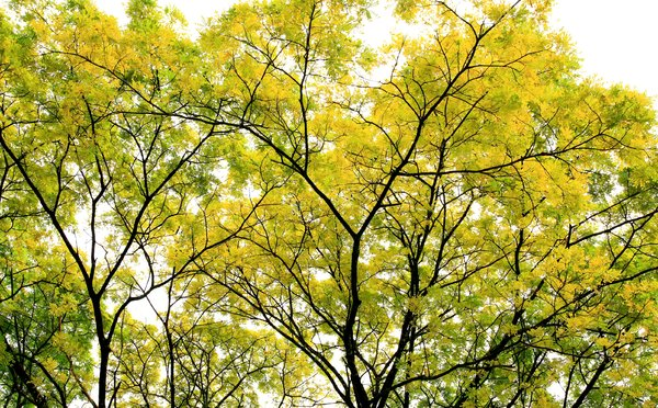 Leaves Of Gold 3