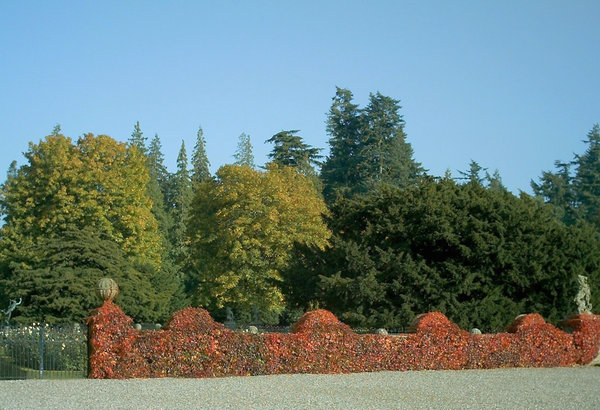 Red hedge