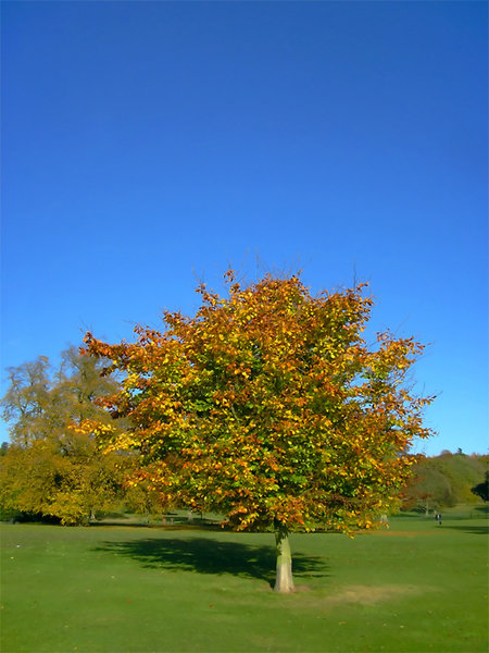 Autumn tree