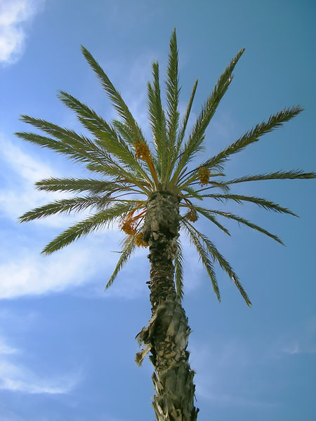 Palm tree: Palm tree against the blue sky