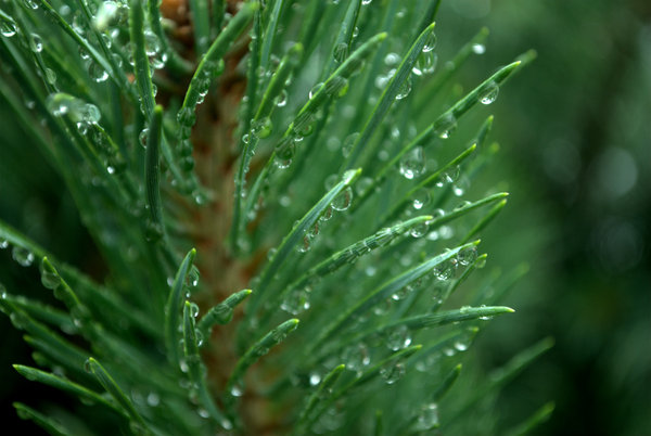 Pine: pine needles from the morning dew
