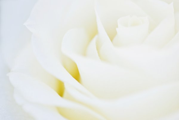 Rose heaven white
