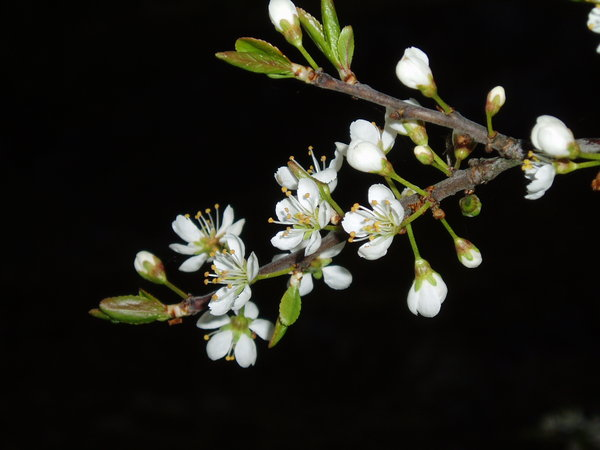 Blackthorn: Blackthorn flowers in the night
