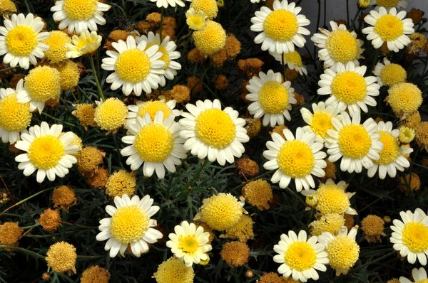 Little Daisies: little white and yellow flowers