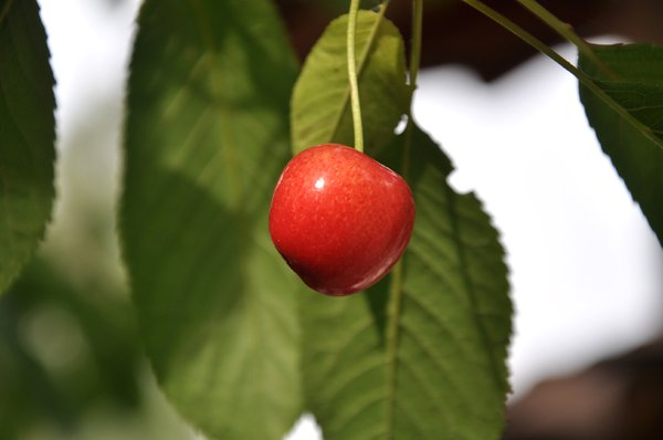 Cherry: Cherry in the tree