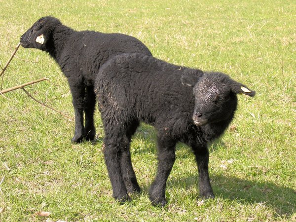two little black sheep