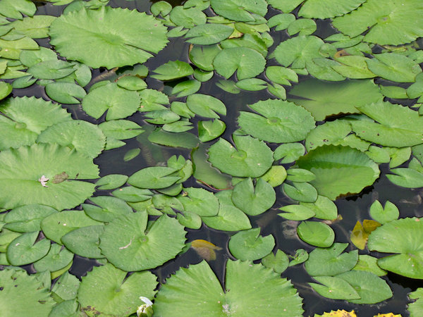 keeping afloat: water lilly leaves floating atop the lake water - surface