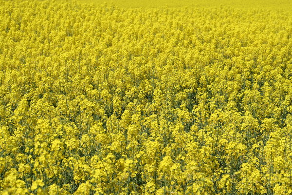 rape texture: field of rape