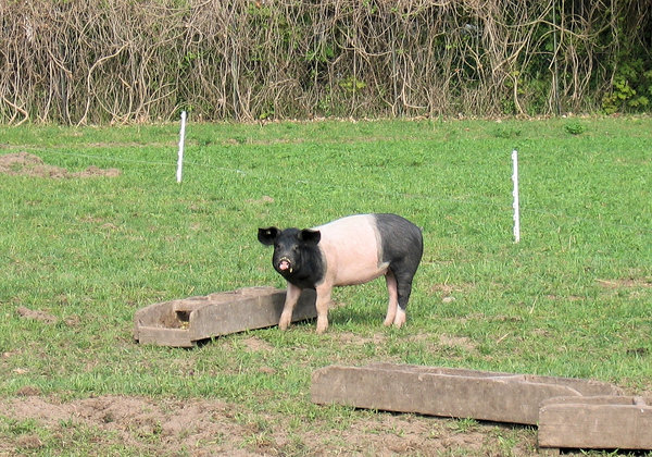 young piglet: young pot-bellied piglet