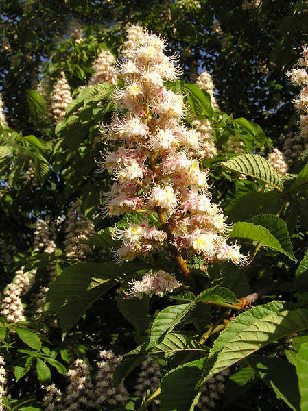 Blooming chestnut: Just a chestnut in the spring (may).