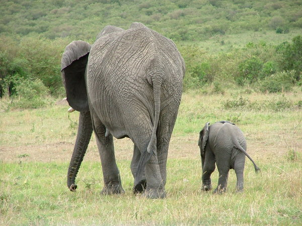 Elephants going home: Mother and baby elephant head home after a drink at the waterhole.