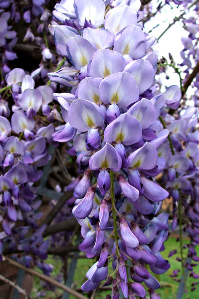 wisteria cascades,: colourful clusters of fragrant wisteria