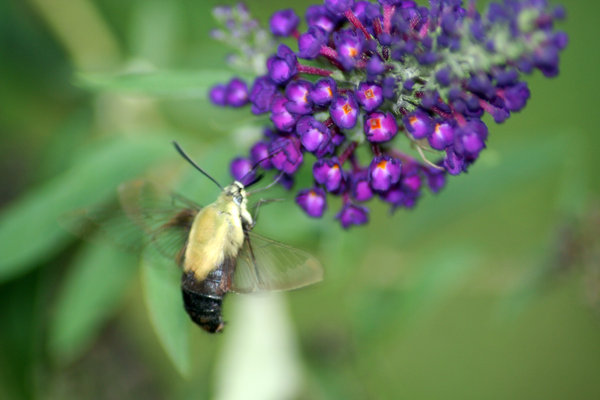 BUMBLE BEE MOTH C: THE BUTTERFLY BUSH IS ALSO A MOTH BUSH.