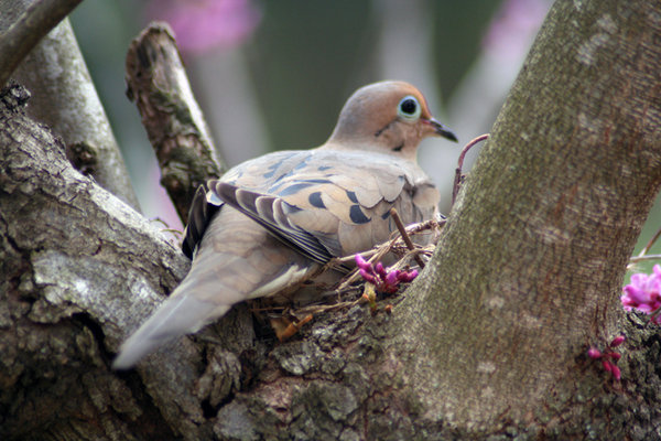 DOVE IN RED BUD TREE: MOURNING DOVE BEGINING TO NEST IN A RED BUD TREE AT MY PARENTS HOUSE