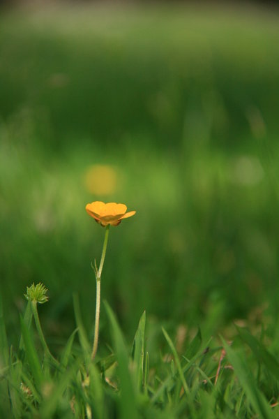 Buttercup: Flower in Grass