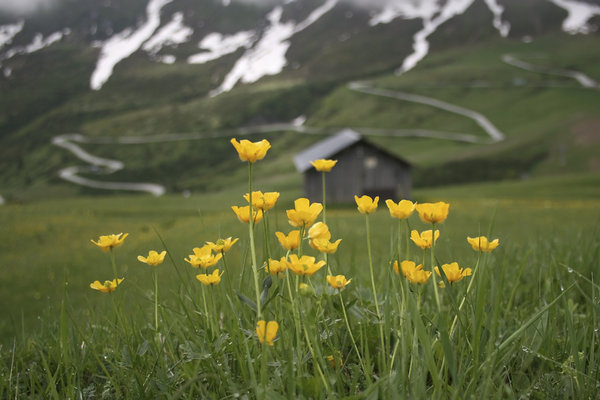 Mountain buttercups: Buttercups (Ranunculus) growing on a mountain slope in the Dolomites, Italy