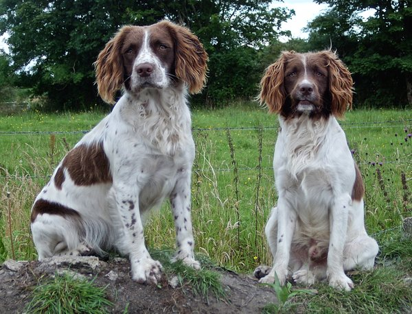 English Springer Spaniels: Ruby and Chester - two friends of mine.  Small file shot on a point and click some years ago.