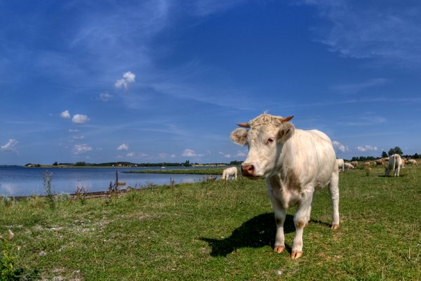 Cattle - HDR