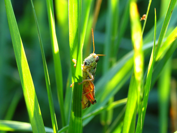 Grasshopper in the tall grass